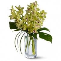 Cymbidium Orchids, Venezuela