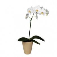 Orquidea Phalaenopsis - Venezuela